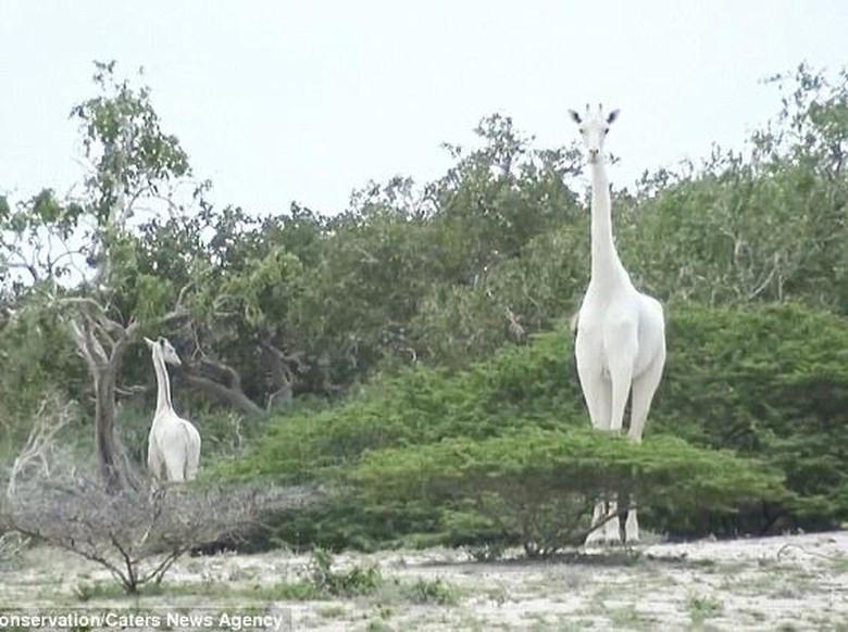 Geger Jerapah Putih Ditemukan di Kenya